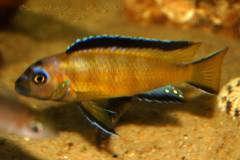 "Pseudotropheus elongatus ""Usisya"""