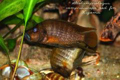 Altolamprologus compressiceps red fin Kigoma