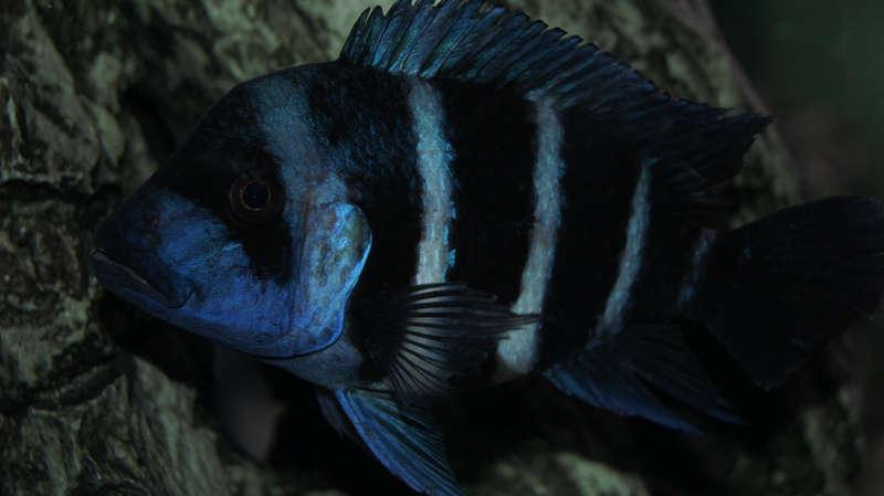Cyphotilapia frontosa blue Zaire Moba (Wild)