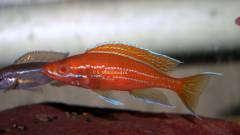 Paracyprichromis nigripinnis ' blue neon '