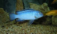 seudotropheus socolofi(самец)
