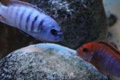 Metriaclima «Zebra Emmiltos»VS Iodotropheus sprengerae