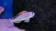 Xenotilapia nigrolabiata 'red princess'