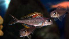 Xenotilapia nigrolabiata 'red princess' самец F1