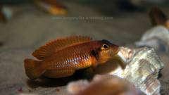 Lamprologus ocellatus orange F1