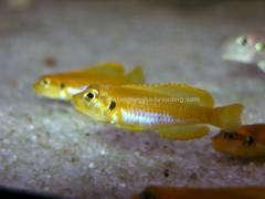 Lamprologus ocellatus gold F2