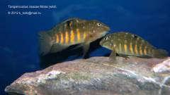 Tanganicodus irsacae Moba (wild) пара 1