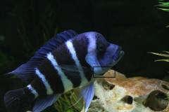 Cyphotilapia frontosa Moba Blue Zaire 6