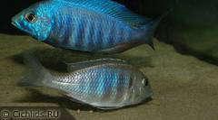 "Placidochromis sp. ""electra blue"", нерест пары"
