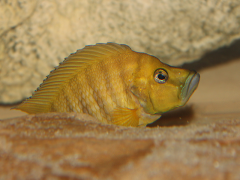 Altolamprologus compressiceps Chaitika Gold