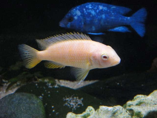 Tropheops spec. 'red cheek' albino