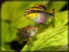 Pelvicachromis pulcher RED. самка