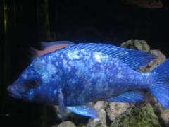 Placidochromis spec. 'phenochilus Tansania'