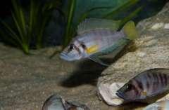 """Altolamprologus sp. compressiceps """"Shell"""" (Sumbu)"""