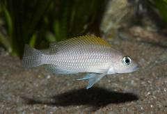 «Lamprologus» caudopunctatus