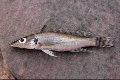 Baileychromis centropomoides, фото Adrian Indermaur
