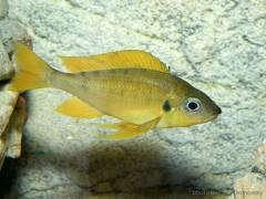 Pheaserfins