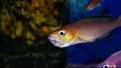 """Cyprichromis sp. """"leptosoma jumbo"""" Yellow head, самка с икрой"""