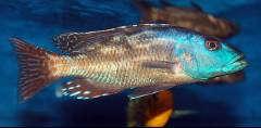Nimbochromis fuscotaeniatus (Regan, 1922)