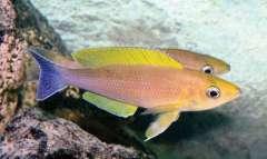Cyprichromis coloratus