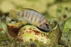 """altolamprologus sp. """"compressiceps shell"""" Cameron Bay"""