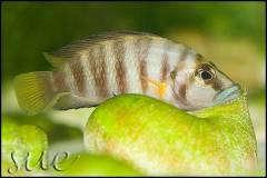 "altolamprologus sp. ""compressiceps shell"" Cape Kachese"