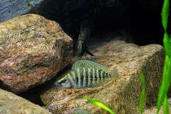 """Altolamprologus calvus """"Black"""", самец и самка"""