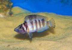 "Altolamprologus sp. ""Shell Sumbu"""