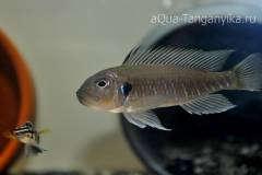 Triglachromis otostigma WF