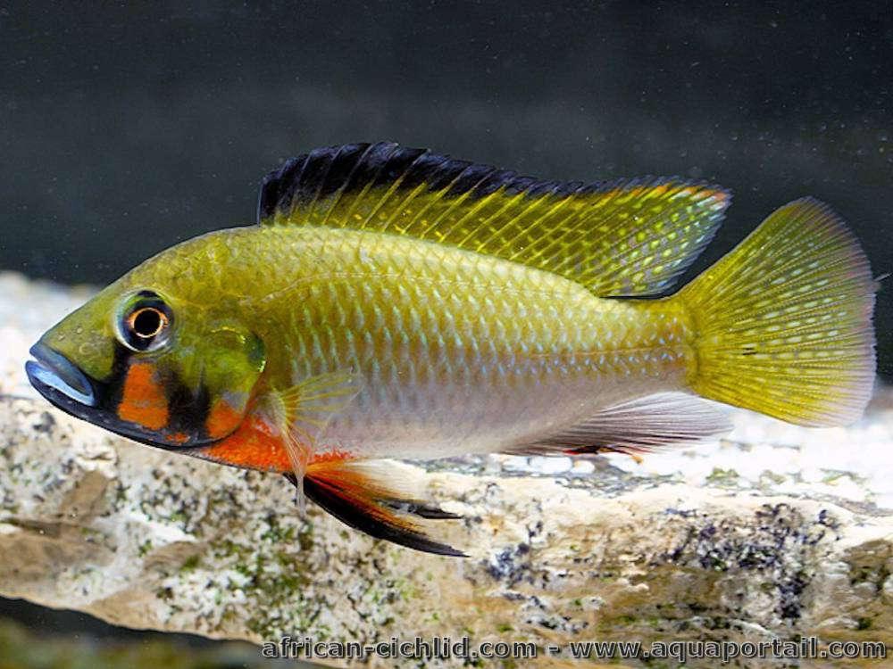 thoracochromis-brauschi.jpg