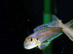 "Xenotilapia bathyphilus ""Isanga"", самец"