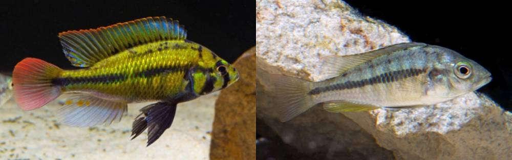 Haplochromis sp. 'Kenya gold'.jpg