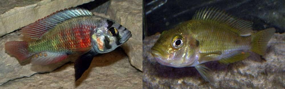 Haplochromis sp. 'dayglow'.jpg