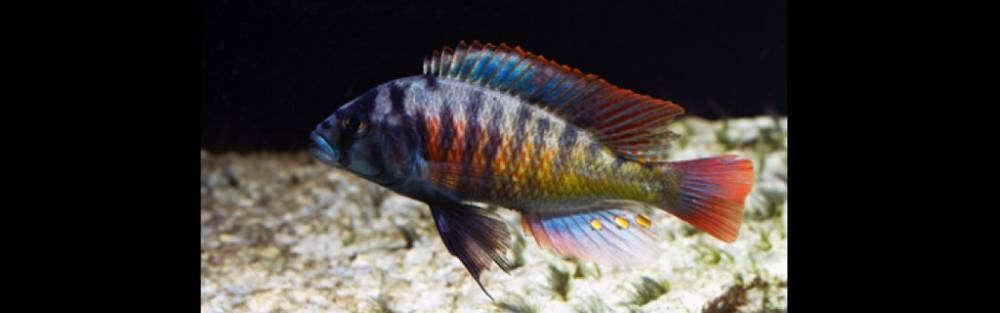 Haplochromis lividus 'Murchison Bay'.jpg
