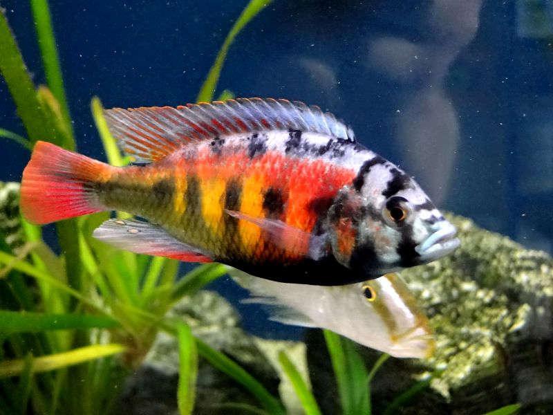 Haplochromis-_CH-44_.jpg