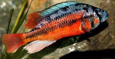 Haplochromis_sp_rock_kribensis_2.jpg