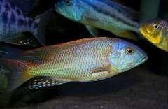 Buccochromis rhoadesii 'yellow'