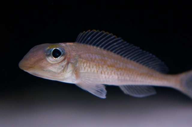 Asprotilapia (Xenotilapia) leptura Cameron Bay