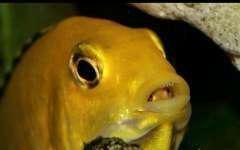 Labidochromis caeruleus «yellow».jpg