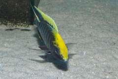Aulonocara maylandi Eccles Reef