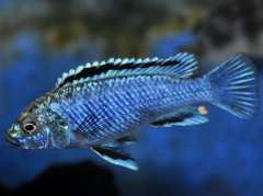 Labidochromis joanjohnsonae