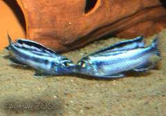 Melanochromis Maingano.