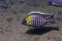 "Lethrinops sp. micrentodon ""Makokola Reef"""