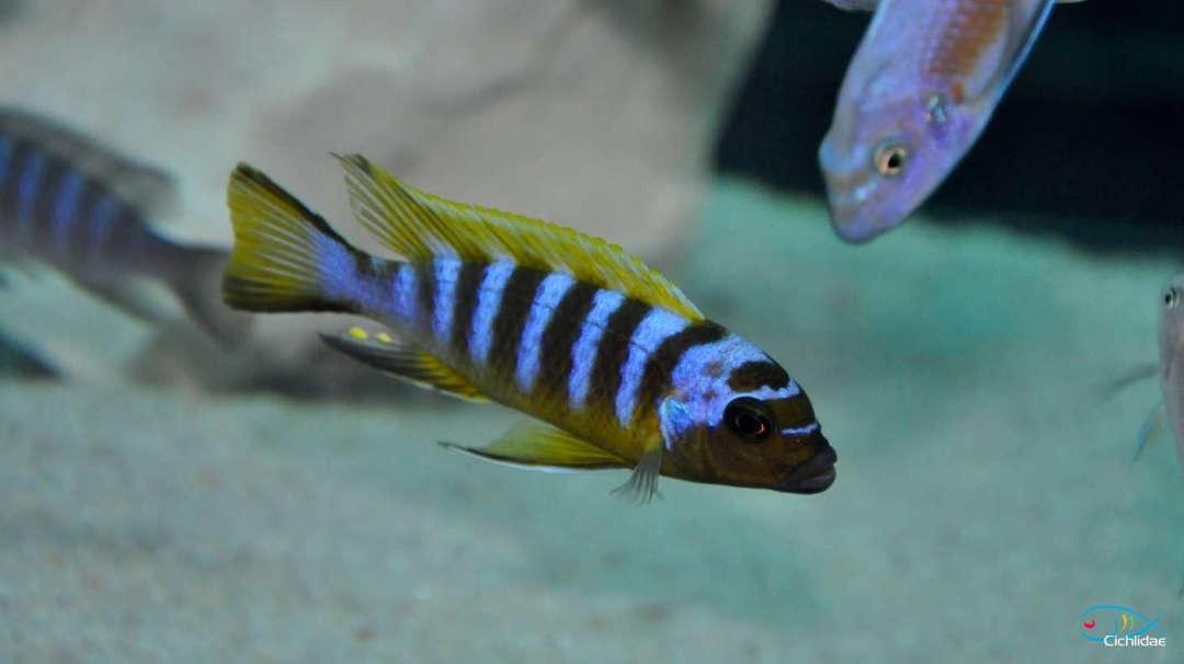 Metriaclima sp. 'zebra long pelvic