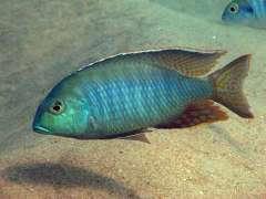 Lethrinops macrochir