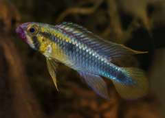 "Apistogramma sp. ""Abacaxis"""