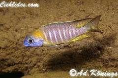 Lethrinops sp. 'nyassae'