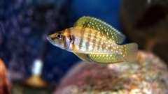Altolamprologus calvus Yellow (Nkamba bay) молодь 5см