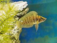 altolamprologus calvus 'yellow' nkamba bay