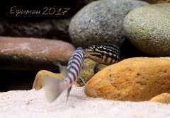 Neolamprologus cylindricus(самец) и Julidochromis marlieri(самочка)